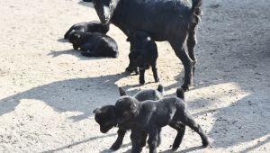 Yeni Doğan Siyah Cüce Keçi Yavruları Büyük İlgi Gördü