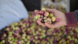 Sofralık zeytin ihracatı 105 milyon dolara ulaştı