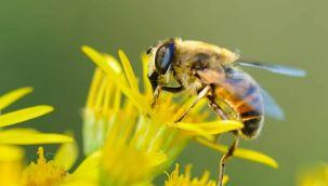 Arılar olmazsa, orman, tarım ve bitki olmaz